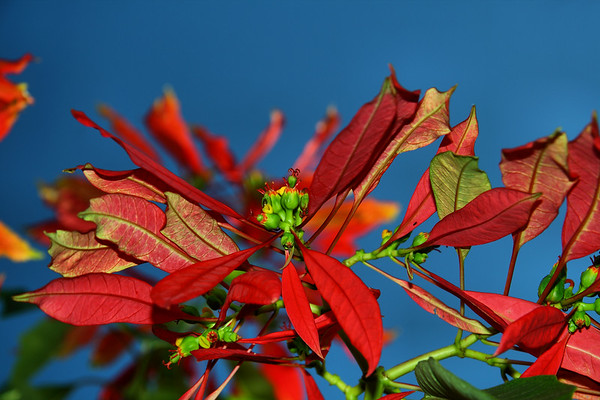 IMG#4063 Naturalized Pointsettia on the island of Dominca