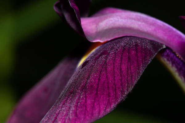 IMG#0425 Japanese Iris