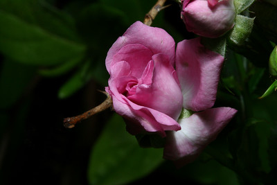 IMG#1005 Fairy Pink Miniature Rose