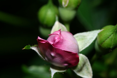 IMG#1110 Fairy Pink Miniature Rose bud