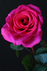 """Center>IMG#5793 Irridescent Petals-""""Gifted Rose"""""""