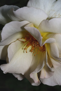 IMG#1109 Cream Shrub Rose