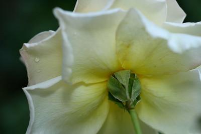 IMG#1030 Cream Shrub Rose
