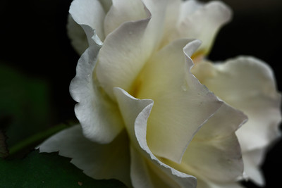 IMG#1132 Cream Colored Shrub Rose