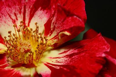 IMG#1528 Velvety Finish-Stars & Stripes Rose