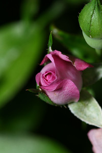 IMG#1115 Miniature Rose-Fairy Pink bud
