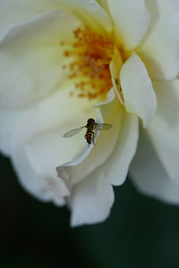 IMG#1019 Cream Colored Shrub Rose & Hover Fly