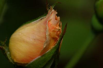 IMG#0452 Rose Bud