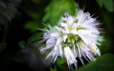 Snow Ball Flower