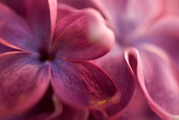 Lilac macro flower