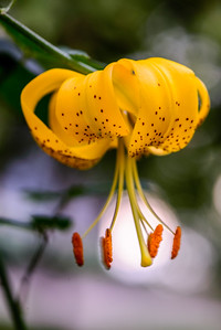 Yellow Black Tiger Lily