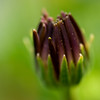 closed daisy bud