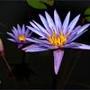 Lilypad flower on the pond