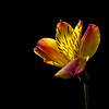 Black background, lite from above, a small flower of red, yellow taken with a macro lens