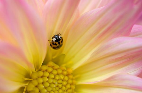 lady bug on dahlia