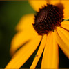 A summer Black-eyed Susan with tiny fly