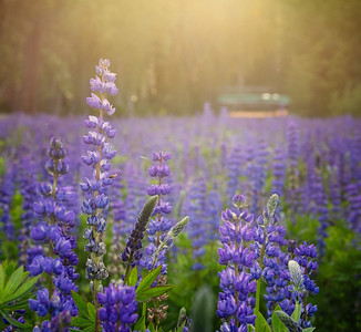 Lupine In the Afternoon Glow