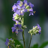 Blue Phacelia Distans