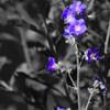 Wild Delphinium
