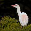 Cattle egret in full breeding display