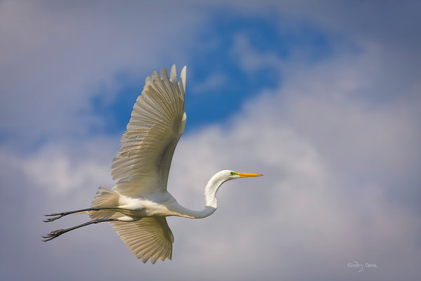Great Egret Flight