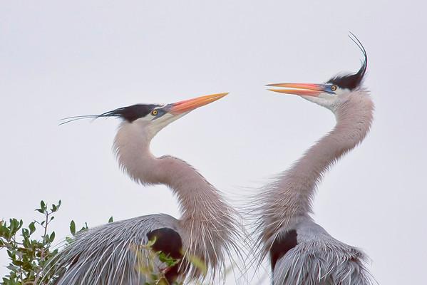 Heron Squabble