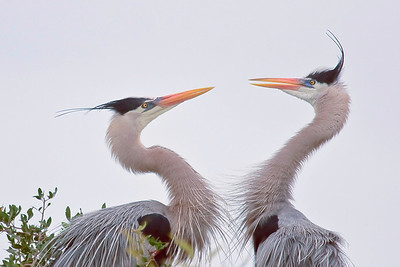 Heron Squabble