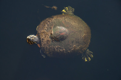 Florida Softshell (Apalone ferox)