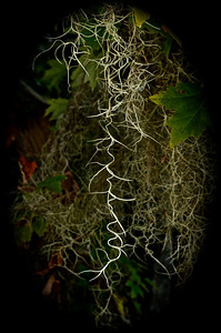 Spanish Moss hanging down from a branch, not to be touched as full of tiny mites.