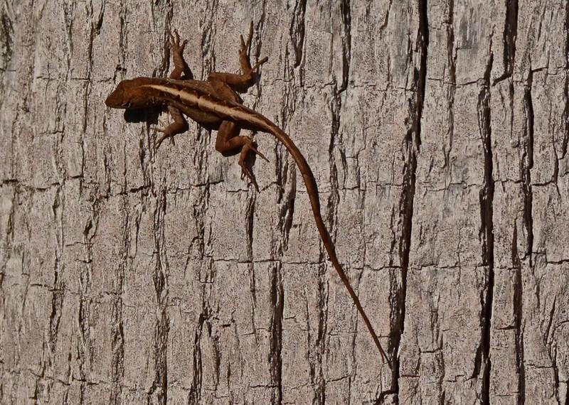 Lizard (exact species unknown)