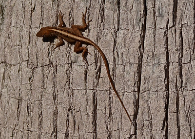 Lizard (exact species unknown)