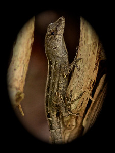 Cuban Brown anole (Anolis sagrei) - these were originally from Cuba but are now found commonly in Florida