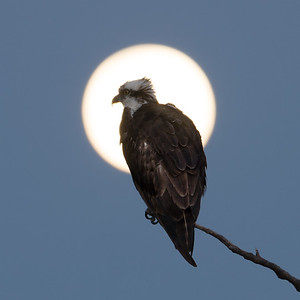 Juvenile Eagle in the Moonlight