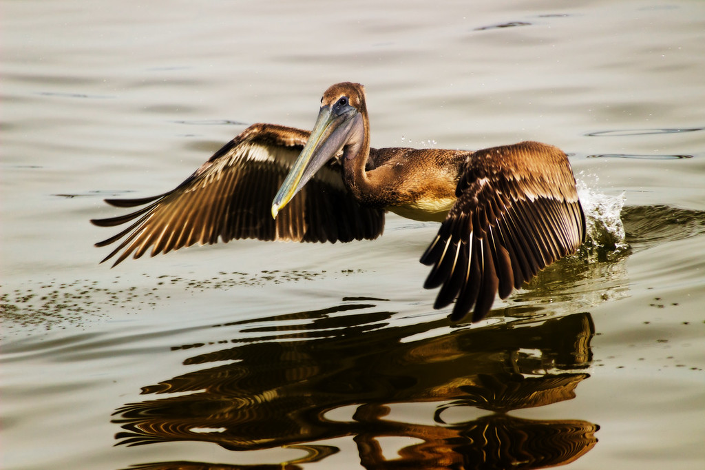 Brown Pelican (Cape Coral, Florida)