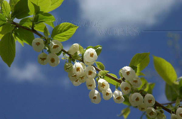 Styrax japonicus tree with beautiful bell-like flowers on CD campus