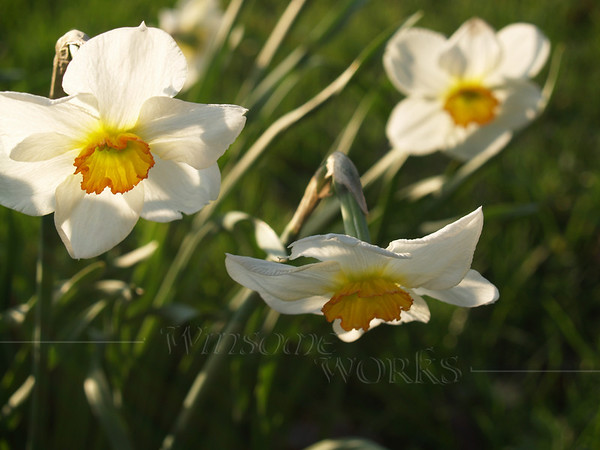 Nodding Jonquils, back-lit