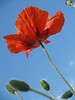 Poppies from below; Quakertown, PA