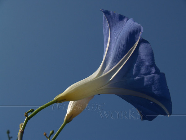 Morning Glory in Sky - Fairview, North Carolina