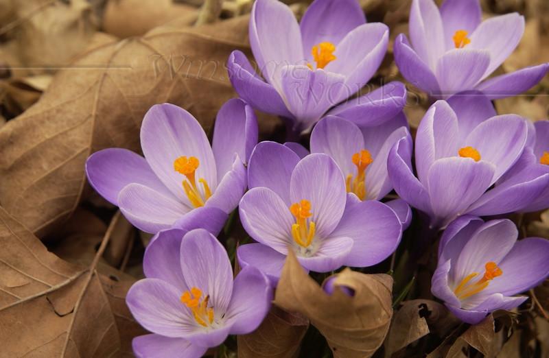 Saffron crocuses  (Crocus sativus)  -  3/12/2012