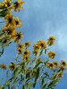Rudbeckia hirta or brown-eyed Susans from below; Quakertown, PA