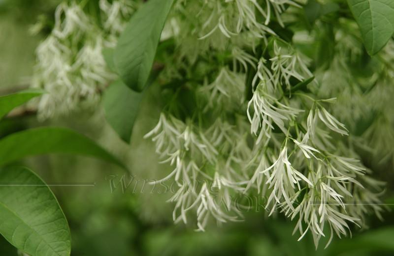 Flowering tree in Teardrop Park, Manhattan (Needs I.D.)