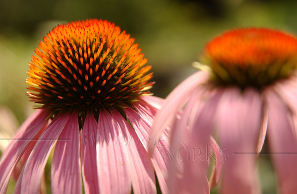 Purple coneflower (echinacea)