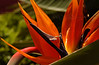 Bird-of-paradise flower (Strelitzia) - Pacific Beach, CA