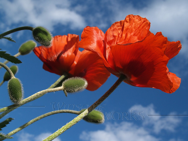 Glorious poppies; Quakertown, PA