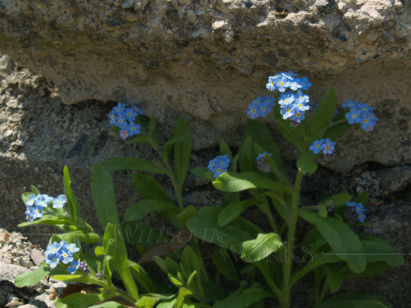 Forget-me-nots (Myosotis) growing in rubble; May, Pennsylvania