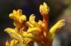 Kangaroo paw flower (Anigozanthos manglesii) in Pacific Beach, CA