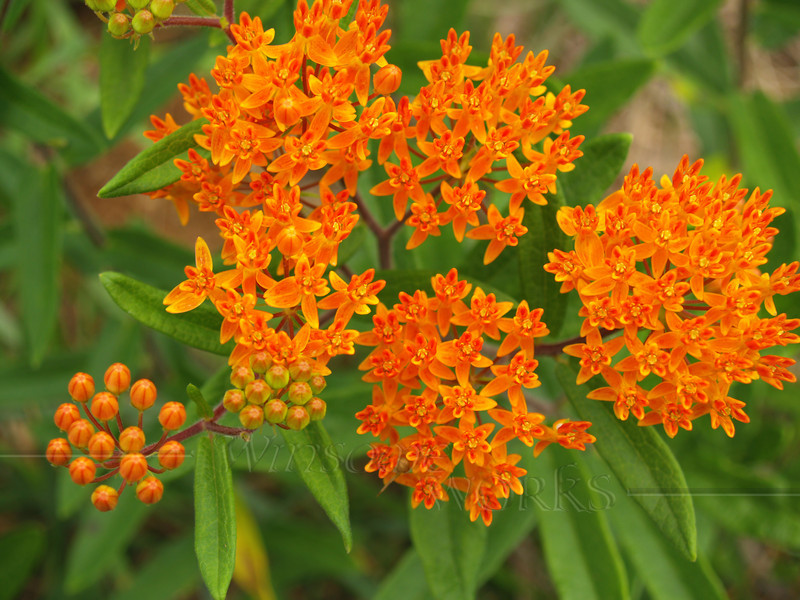 Orange Milkweed or Butterfly Weed in NC piedmont area; red-streaked variety