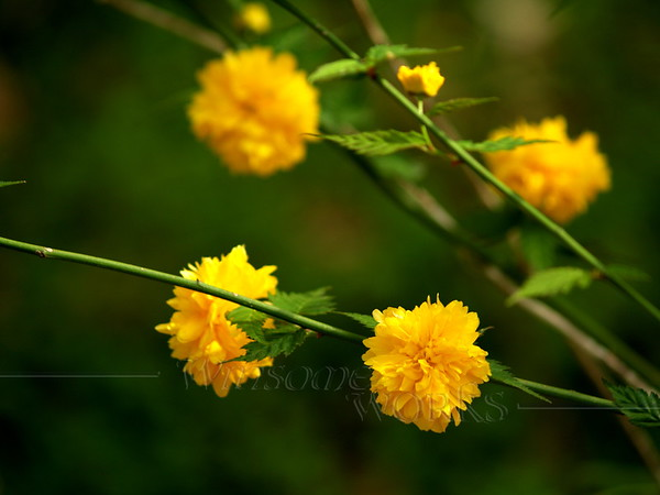 Kerria bush-- Kerria japonica 'Pleniflora' (Japanese Yellow Rose)