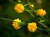 Kerria bush-- Kerria japonica 'Pleniflora' (Japanese Yellow Rose)