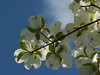 Flowering dogwood branch - Quakertown, PA